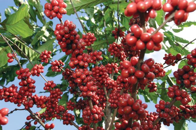cafe_planta