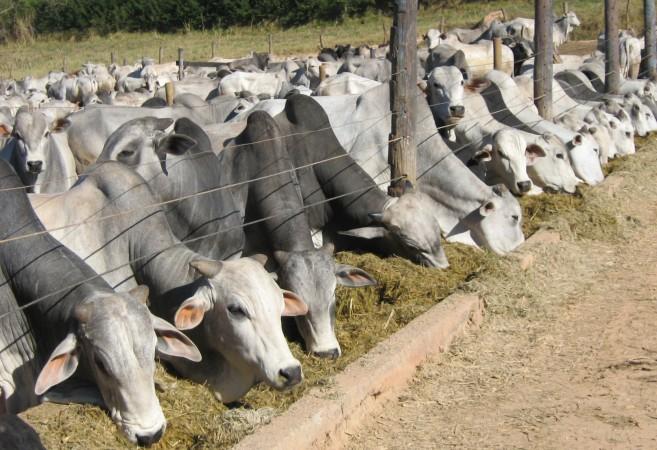 confinamento-e-alternativa-para-engorda-de-bovinos-no-periodo-da-seca