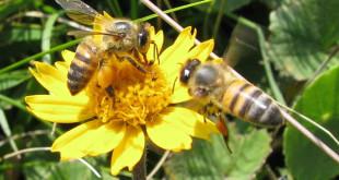 abelhas_polinizacao