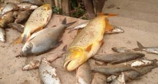 peixes_mortos_samarco_15