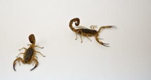 escorpioes_tadeumamede
