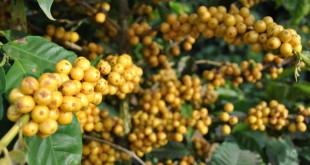cafes_mg_cultivar_paraiso