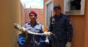 iguana_moc