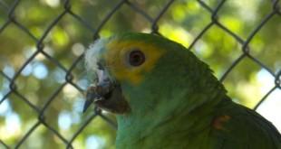 papagaio_fred